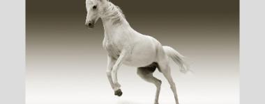 Photo d'u cheval blanc prêt à s'élancer, sur un fond de gris dégradés, s'éclaircissant vers le bas.