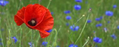 Photographie de fleurs des champs sur fond vert. Un coqueliquot au 1er plan à gauche, des bleuets à l'arrière plan.Coquelicot-poppy anglais, bleuet de France, ces deux fleurs symbolisent les soldats tombés au front.